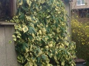 The ivy growing in my garden
