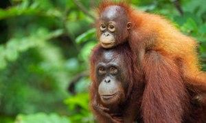 Bornean-orangutan-007