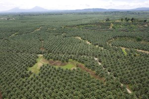 'New Britain Oil Palm Limited' palm plantation, near Kimbe, West New Britain Island, Papua New Guinea, Wednesday 24th September 2008.