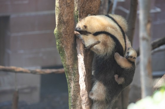 Tamandua baby (c) ZSL London Zoo 2