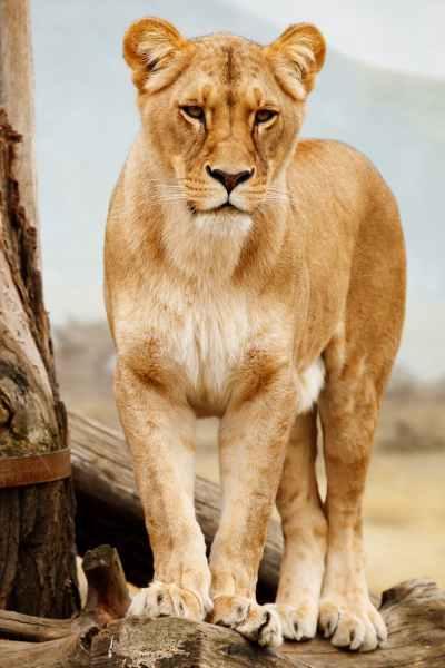 animal big standing fur