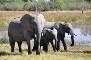 large elephants near lake