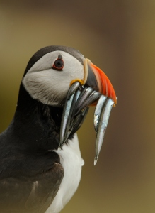 Puffin 1, credit Ben Andrew