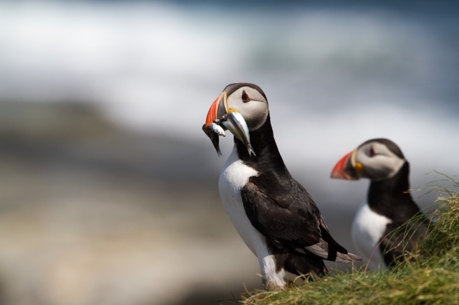 Puffin, credit Chris Taylor