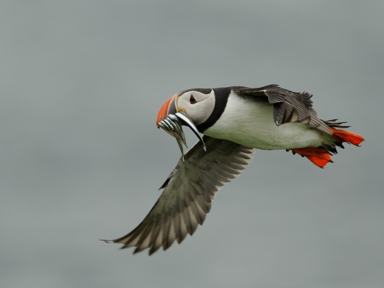 Puffin flying with prey_credit Ben Andrew